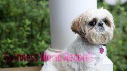 シーズー犬平均寿命ギネス記録