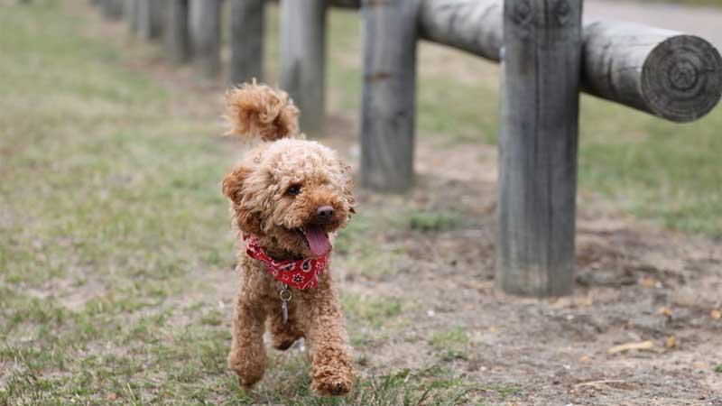 犬のシャンプー トイプードルの場合の頻度